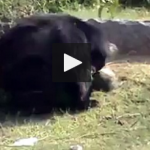 bear attacked on human