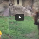 LIon attacked on little children video
