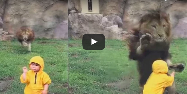 Lion attacked on Little Children with Full force (Video)
