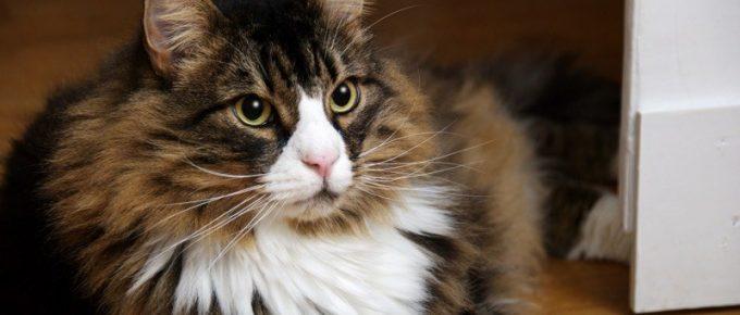 Benefits of Having a Norwegian Forest Cat